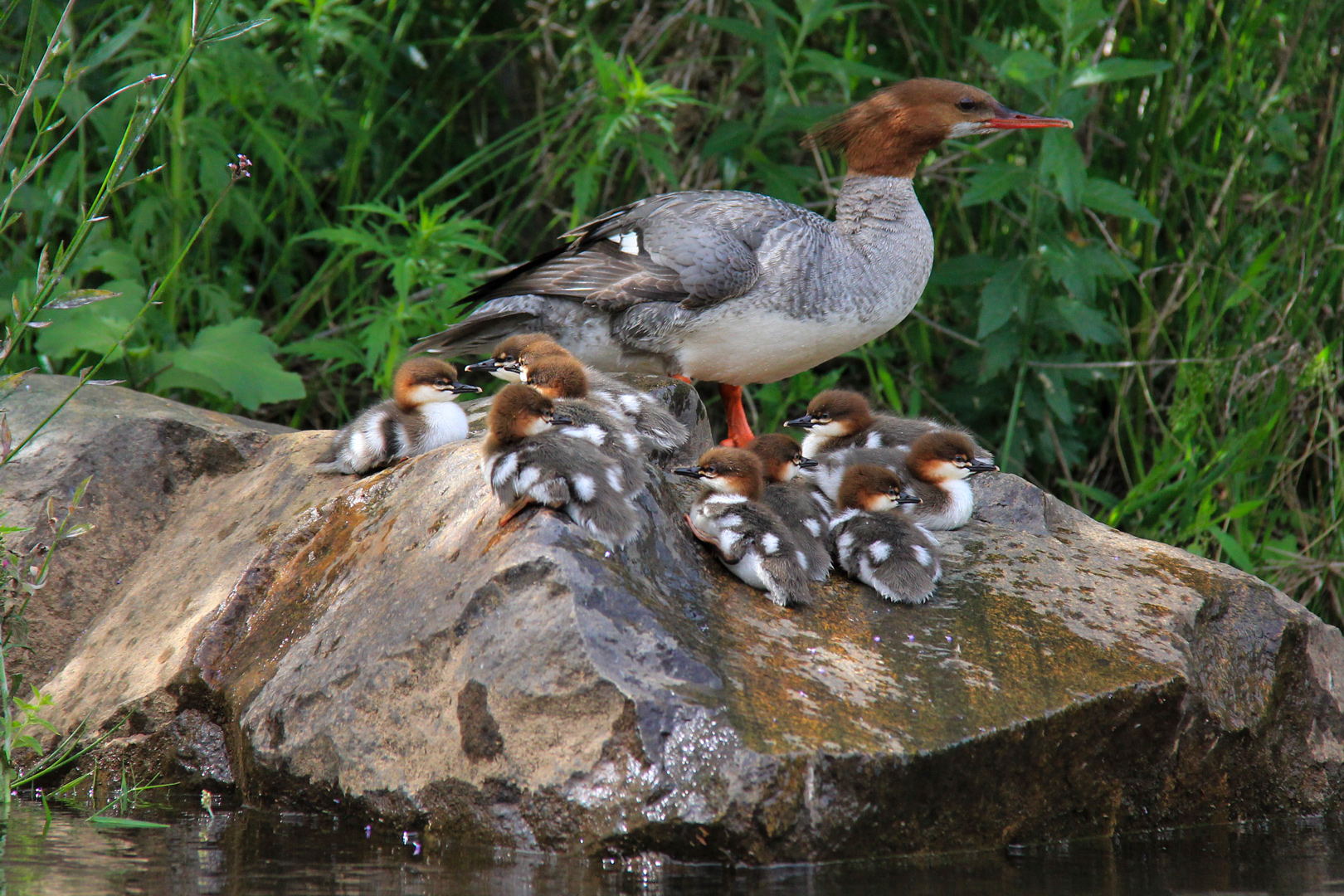 Young Merganser Family - South Fork American River